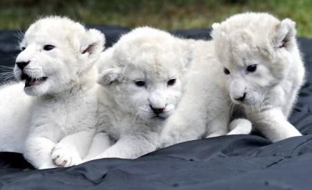 patru-pui-de-leu-alb-au-devenit-vedetele-gradinii-zoologice-din-belgrad-93548.jpg